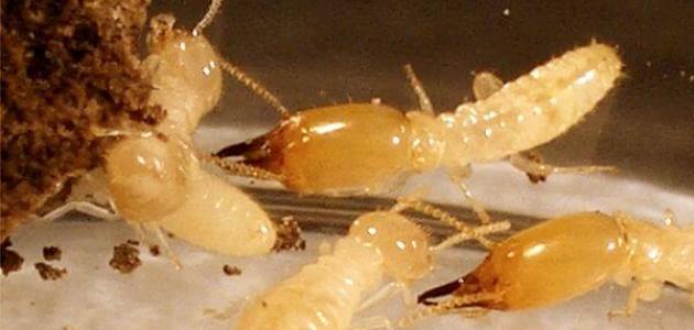 مكافحة النمل الابيض برماح