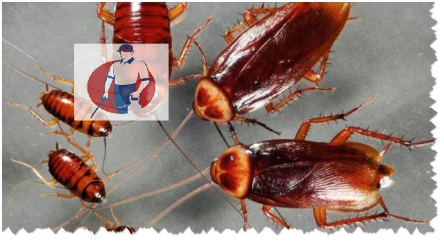 ركة-مكافحة-الصراصيرالمزاحمية