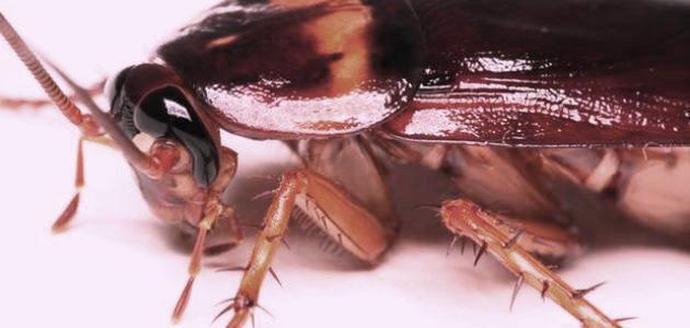 مكافحة الصراصير المنزليه بالرياض