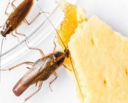 صورة مكافحة الصراصير المنزلية بالرياض